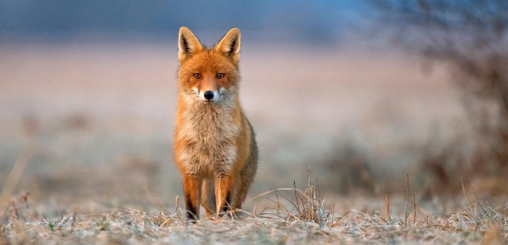 Red Fox - web marketing plan